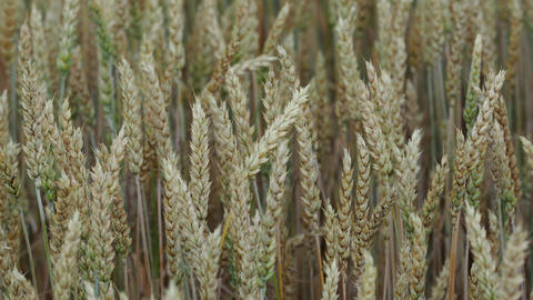 Wheat field. Ears of wheat close up. Background of ripening ears of meadow wheat field. Rich harvest Live Action