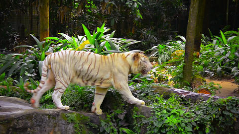 White Tiger in his Habitat at a Zoo Footage