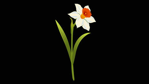 Flawers Narcissus Bouquet 0