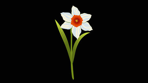 Flawers Narcissus Bouquet 2