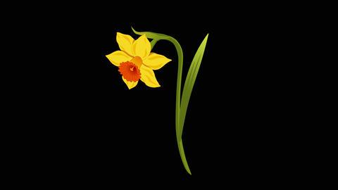 Narcissus yr 1 3 Animation