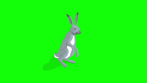 Gray Hare Sitting Isolated on Green Screen Footage