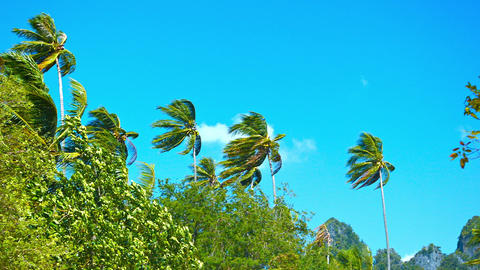 Tall Coconut Palms Bending in a Strong Tropical Wind Footage