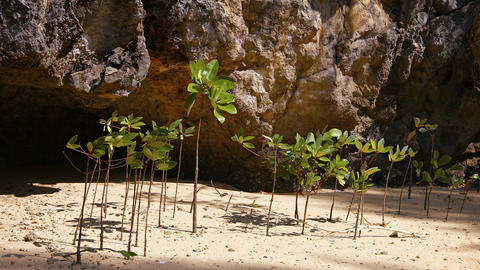 Young Mangrove Shoots Swaying in a Gentle Sea Breeze Footage