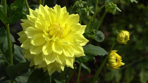 Flora - Dahlia 2