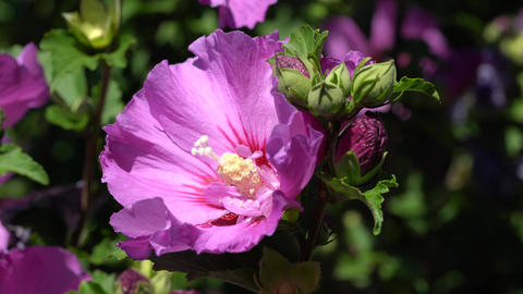Rose althea (Hibiscus syriacus), flowers of summer Live Action
