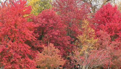 Trees in full fall colors Stock Video Footage