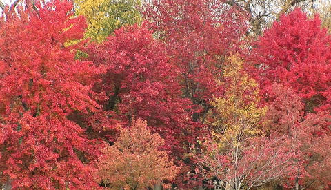 Trees in full fall colors Footage