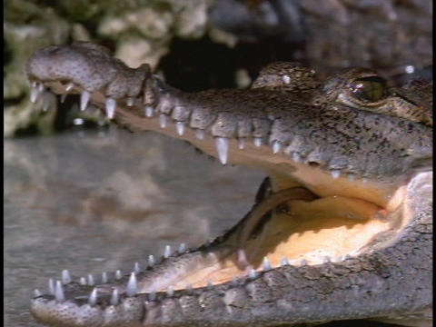An alligator holds its mouth open in Florida's Everglades... Stock Video Footage