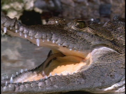 An alligator holds its mouth open in Florida's Everglades National Park Footage