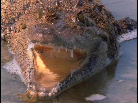 An alligator strikes in the Everglades Stock Video Footage
