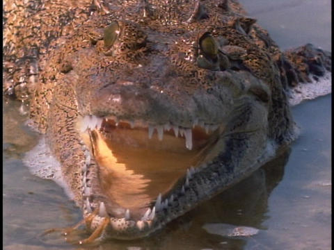 An alligator strikes in the Everglades Footage