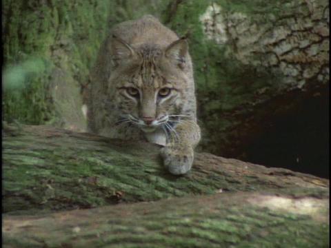 A bobcat carefully stalks its prey Stock Video Footage