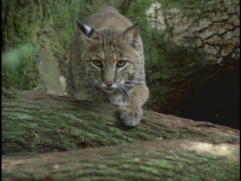 A bobcat carefully stalks its prey Stock Video Footage