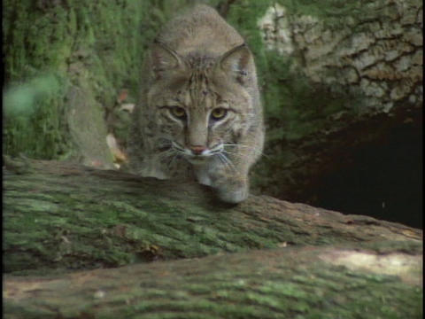 A bobcat carefully stalks its prey Footage