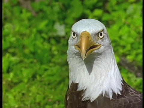 A bald eagle stares at its surroundings Stock Video Footage