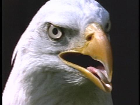A bald eagle surveys its surroundings Stock Video Footage
