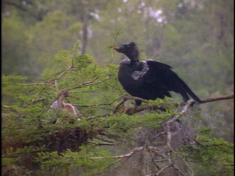 A heron delivers a twig to its nest in Florida's... Stock Video Footage