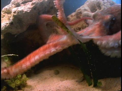 An Octopus swims across an aquarium floor Stock Video Footage