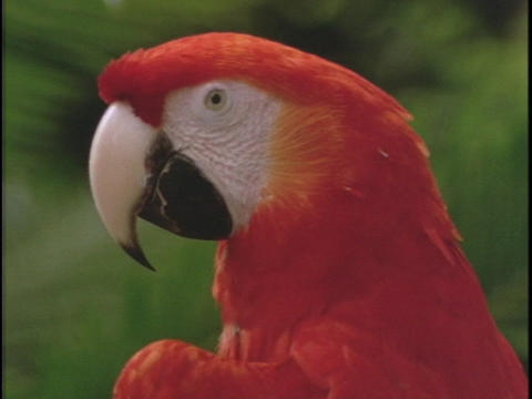 A red parrot calls Stock Video Footage