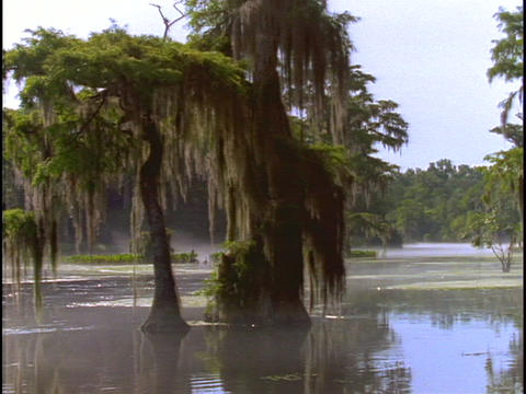 Trees adorn a swamp in Florida's Everglades Stock Video Footage