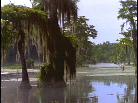 Trees adorn a swamp in Florida's Everglades Footage