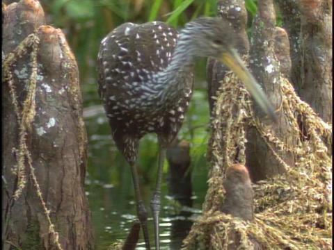 A limpkin bird walks through Florida's Everglades Stock Video Footage