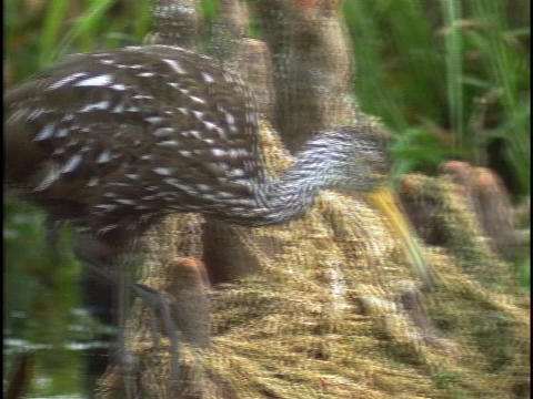 A limpkin bird walks through Florida's Everglades Stock Video Footage