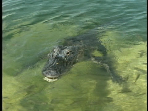 An alligator swims in a pond in Florida's Everglades Footage