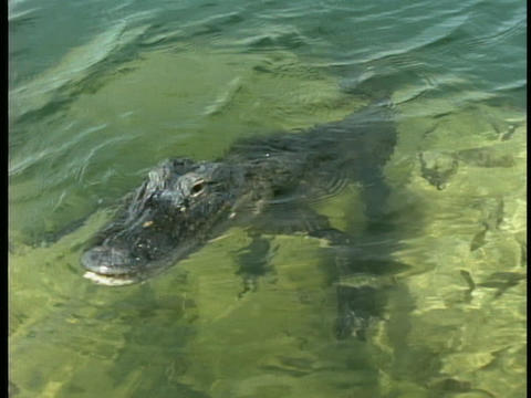 An alligator swims in a pond in Florida's Everglades Stock Video Footage