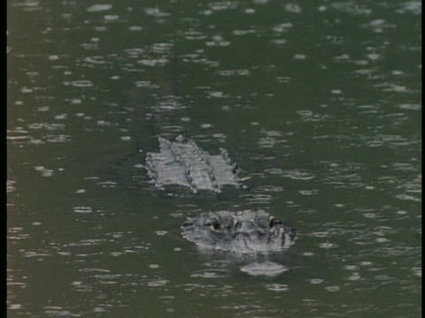 An alligator floats in a pond as it rains in Florida's Everglades Footage