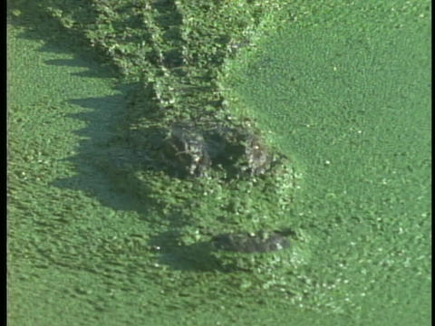 An alligator swims beneath pond scum in a Florida Everglades' swamp Footage
