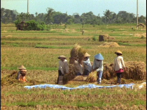 Farmers thresh in a rice paddy in Bali, Indonesia Stock Video Footage