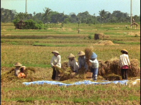 Farmers thresh in a rice paddy in Bali, Indonesia Footage