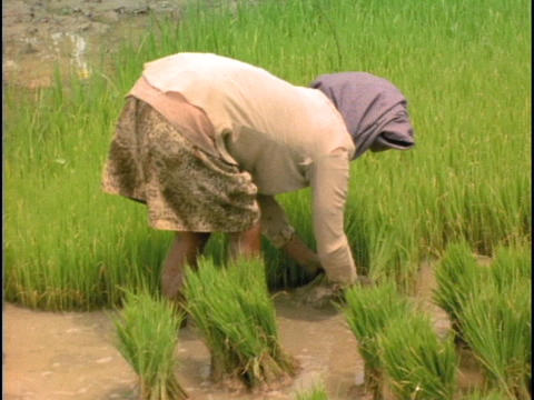 Farmers harvest in a rice paddy in Bali, Indonesia Stock Video Footage