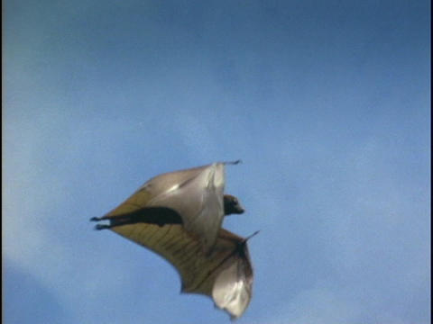 A bat flies over the Indonesian jungle Stock Video Footage