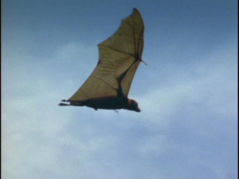 A bat flies over the Indonesian jungle Footage