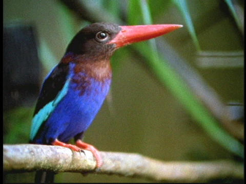 A kingfisher surveys its surroundings in a Borneo... Stock Video Footage