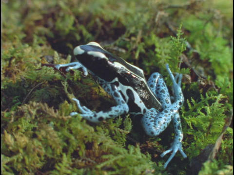 A poison arrow frog rests on moss in a rainforest Stock Video Footage