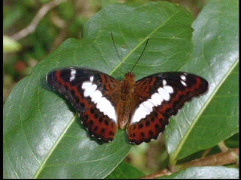 A butterfly flaps its wings on a leaf Stock Video Footage