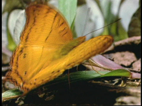 A butterfly flaps its wings as it rests on a leaf on the... Stock Video Footage