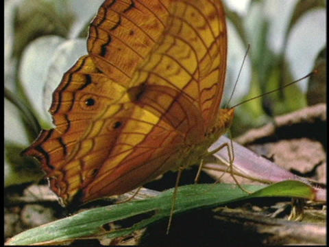 A butterfly flaps its wings as it rests on a leaf on the ground Footage
