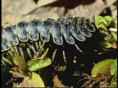 A centipede crawls on a jungle forest floor in Borneo,... Stock Video Footage