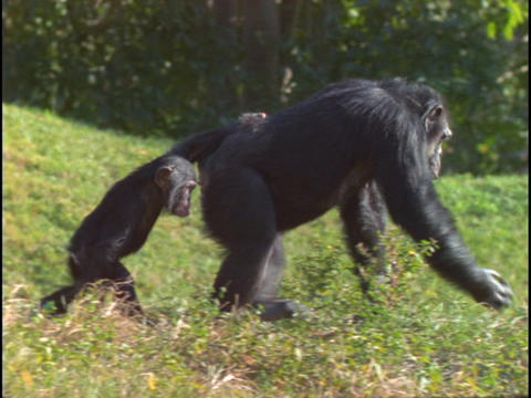 A chimpanzee and its child walk through the grass Stock Video Footage