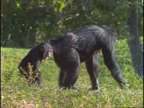 A chimpanzee and its child walk through the grass Footage