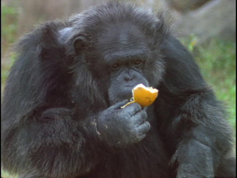 A chimpanzee makes faces as it eats an orange peel Stock Video Footage