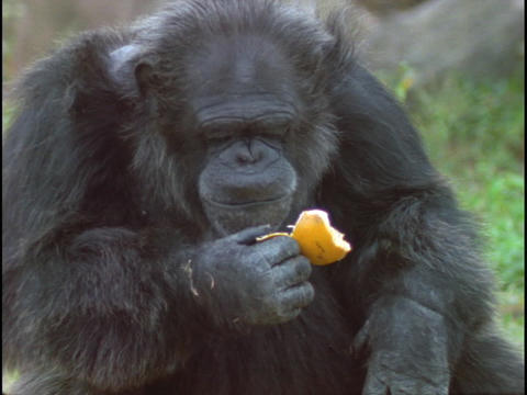 A chimpanzee makes faces as it eats an orange peel Footage