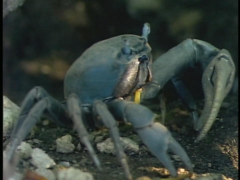 A blue crab forages on an aquarium floor Stock Video Footage
