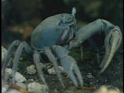 A blue crab forages on an aquarium floor Footage