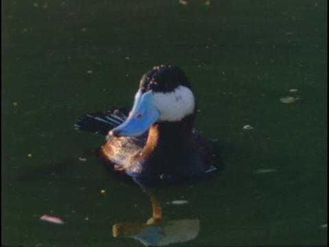 A Ruddy duck swims and dives in a lake Stock Video Footage